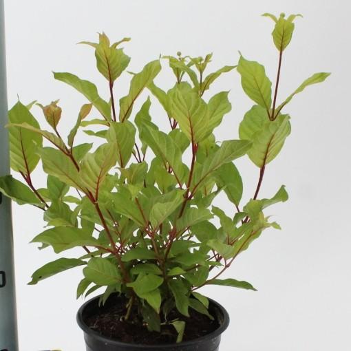 Cephalanthus occidentalis (About Plants Zundert BV)