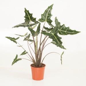 Alocasia 'Sarian' (Ammerlaan Green Innovater)