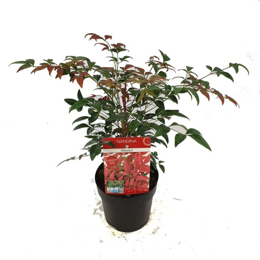 Nandina domestica OBSESSED / OBSESSION (Son & Koot BV)