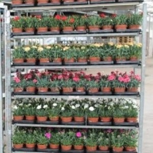 Dianthus TROLLEY #264
