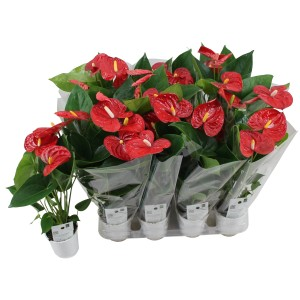 Anthurium JAMBO RED