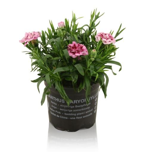Dianthus OSCAR PINK AND PURPLE (Adrichem Potplanten)
