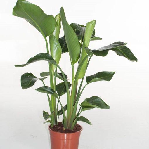 Strelitzia nicolai (Ammerlaan, The Green Innovater)