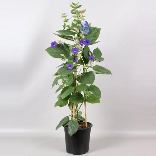 Thunbergia battiscombei (Gebr. Seuren Rozenkwekerijen BV)