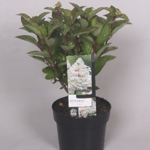 Hydrangea paniculata EARLY HARRY