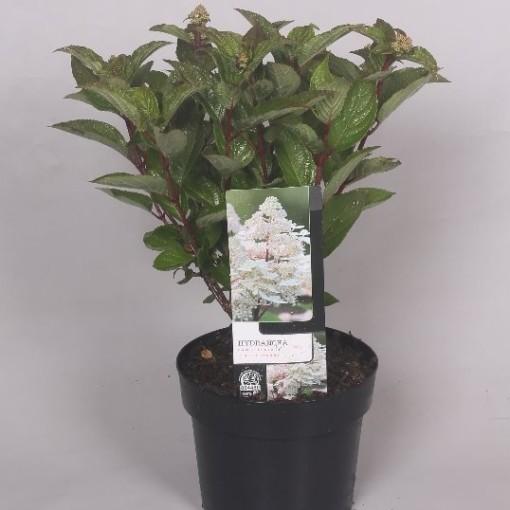Hydrangea paniculata EARLY HARRY (Jesper Mathot Potcultures)