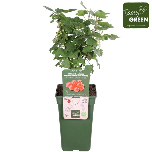 Ribes rubrum 'Jonkheer van Tets' (Hoogeveen Plants)