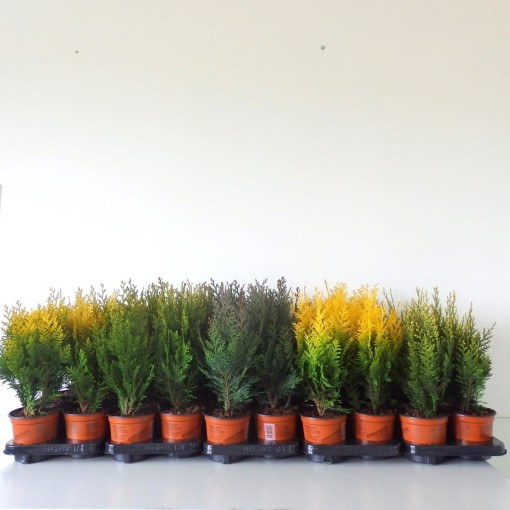 Conifers MIX (Boomkwekerij Potcultuur Gebr. Rademaker)