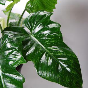 Philodendron 'Camouflage' (Van der Arend Tropical Plantcenter)