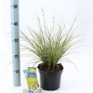 Carex brunnea 'Variegata' (About Plants Zundert BV)