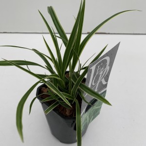 Carex morrowii 'Ice Dance' (Cammeraat Potcultuur)