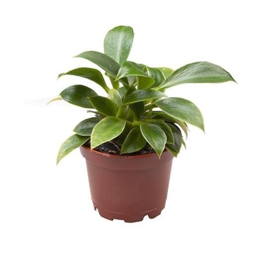 Philodendron 'Green Princess' (Gasa DK)