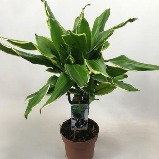 Dracaena fragrans 'Golden Coast' (Vireõ Plant Sales)