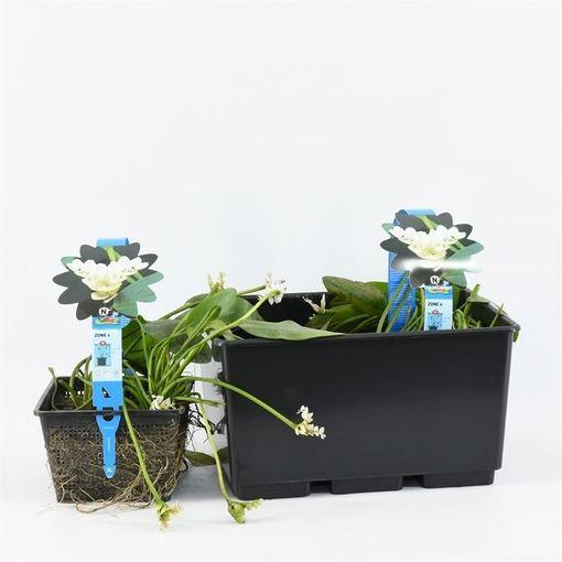 Aponogeton distachyos (Moerings Waterplanten)