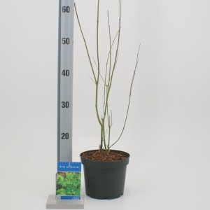 Acer palmatum (About Plants Zundert BV)
