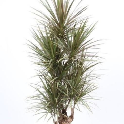 Dracaena marginata 'Bicolor' (Fachjan)