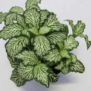 Fittonia MOSAIC WHITE TIGER