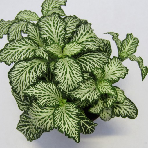 Fittonia MOSAIC WHITE TIGER (Schoenmakers Tropische Potcultures)