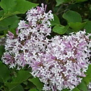 Syringa patula 'Miss Kim' (About Plants Zundert BV)