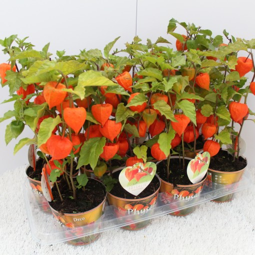 Physalis alkekengi (Experts in Green)