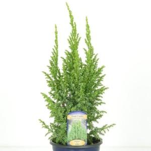Juniperus pingii 'Loderi'