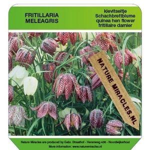 Fritillaria meleagris (Gebr. Straathof)
