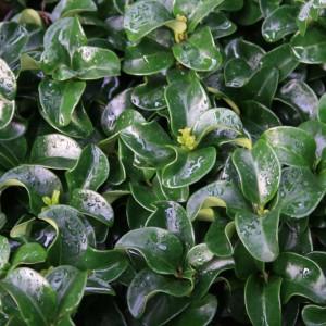 Ligustrum japonicum 'Rotundifolium' (About Plants Zundert BV)