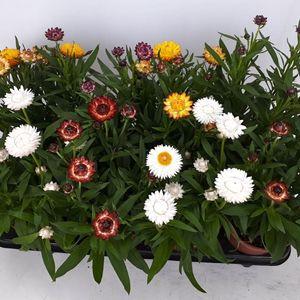 Xerochrysum bracteatum MIX (BB Plant)