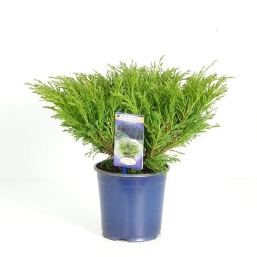 Juniperus horizontalis 'Andorra Compact' (Vredebest, Kwekerij )