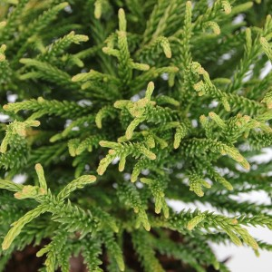 Cryptomeria japonica 'Little Champion' (Bremmer Boomkwekerijen)