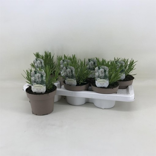 Lavandula angustifolia AROMANCE WHITE (Amstelzicht BV)