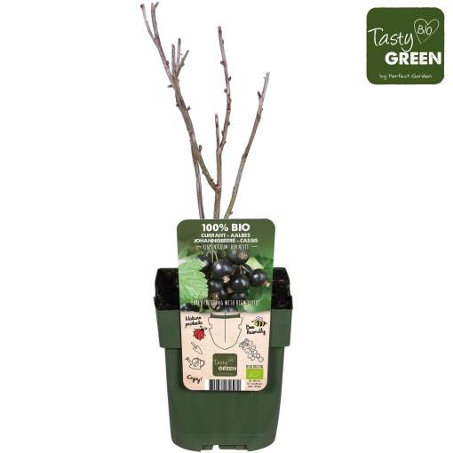 Ribes nigrum 'Ben Nevis' (Hoogeveen Plants)