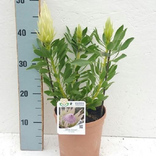 Protea cynaroides 'White Crown' (Flora Toscana)