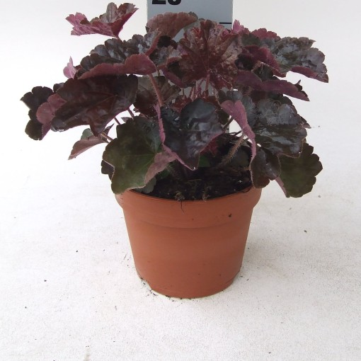 Heuchera micrantha 'Palace Purple' (Kwekerij Scholte)