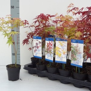 Acer palmatum MIX (About Plants Zundert BV)