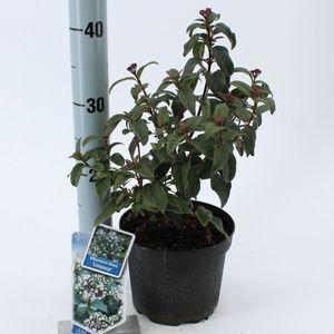 Viburnum tinus LISSPURP