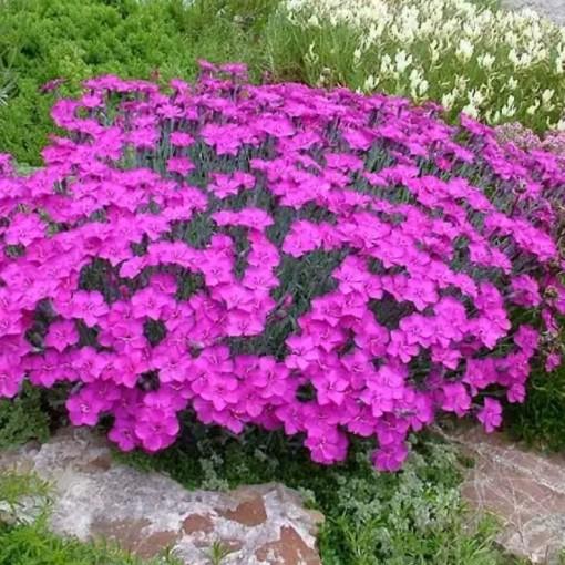 Dianthus gratianopolitanus 'Babylon' (Leeuw-den Engelsen)