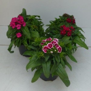Dianthus barbatus MIX (Experts in Green)