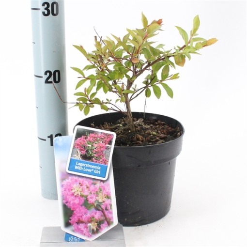 Lagerstroemia indica WITH LOVE GIRL (About Plants Zundert BV)