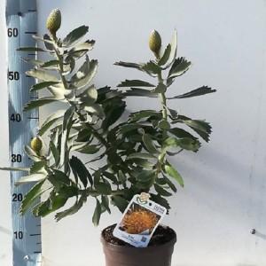 Leucospermum 'Soleil'