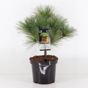 Pinus strobus 'Radiata'