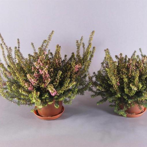 Erica x darleyensis 'Rubina' (Experts in Green)