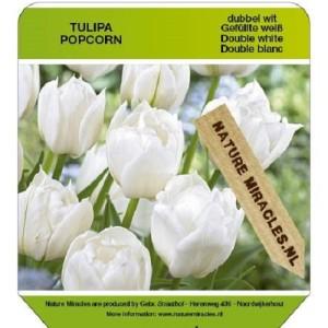 Tulipa 'Popcorn' (Gebr. Straathof)