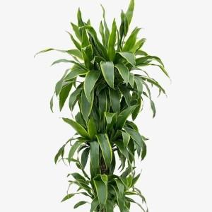 Dracaena fragrans 'Arturo'