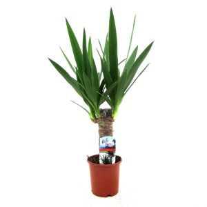 Yucca elephantipes (Luiten kwekerij)