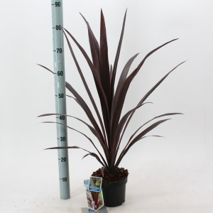 Cordyline SUPERSTAR
