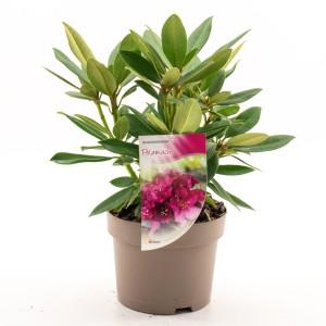 Rhododendron 'Polarnacht'