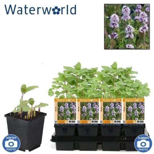 Mentha aquatica (van der Velde Waterplanten BV)
