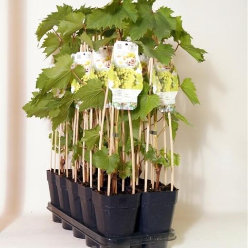 Vitis 'Bianca' (BOGREEN Outdoor Plants)