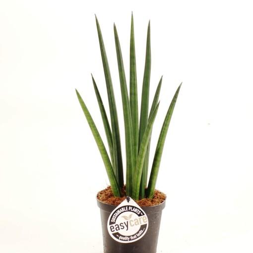 Sansevieria cylindrica 'Rocket' (Feldborg A/S)
